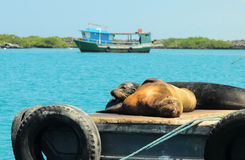 Sea lions resting under the sun, Galapagos Stock Photo