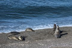 Sea lions resting under the sun, Patagonia royalty free stock photography