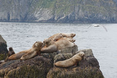 Sea lions on rock Stock Photos