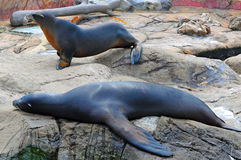 Sea lions on the rock Royalty Free Stock Images