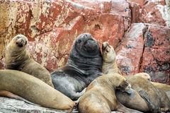 Sea Lions on a Rock Stock Photo