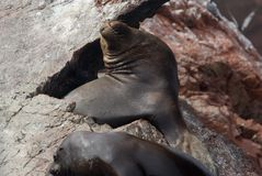 Sea Lions on a rock Stock Photography