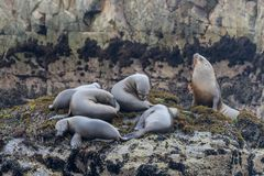 Sea lions on a rock at the coast near Lima Stock Images