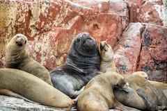 Sea Lions on a Rock Stock Photo