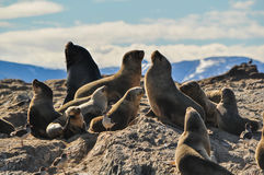 Sea lions on a rock with mountains in the background. Stock Images