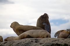 Sea Lions on the rock in the Valdes Peninsula, Atlantic Ocean, Argentina royalty free stock photography