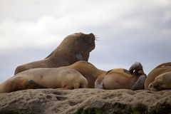 Sea Lions on the rock in the Valdes Peninsula, Atlantic Ocean, Argentina. Male sea Lion on the rock near Puerto Piramides in the Valdes Peninsula, on the stock photo