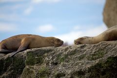 Sea Lions on the rock in the Valdes Peninsula, Atlantic Ocean, Argentina royalty free stock images