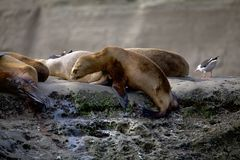 Sea Lions on the rock in the Valdes Peninsula, Atlantic Ocean, Argentina royalty free stock photo