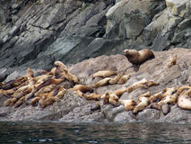 Sea Lions on the Rocks Royalty Free Stock Photo