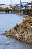Sea Lions on Rocks by fishing village Royalty Free Stock Photos