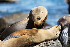 Sea lions at the rocks Royalty Free Stock Photos