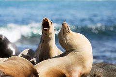 Sea lions at the rocks Stock Photo