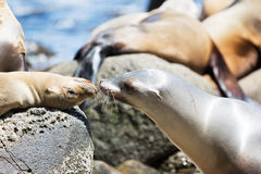 Sea lions at the rocks Royalty Free Stock Image