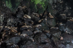 Sea Lions on Rocks Royalty Free Stock Photography