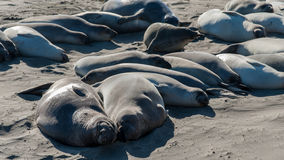 Sea Lions rookery on the Pacific Coast Highway in California USA Royalty Free Stock Image