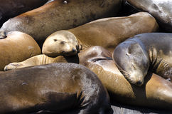 Sea lions in San Francisco Stock Images