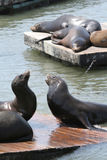 Sea Lions San Francisco Stock Images