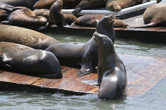Sea Lions San Francisco Stock Photo