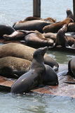 Sea Lions San Francisco Royalty Free Stock Photography