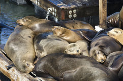 Sea lions Stock Photos