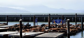 Sea lions in San Francisco. Groups of sea lions resting on docks in San Francisco Royalty Free Stock Images