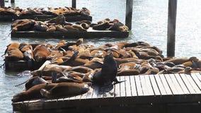 Sea lions San Francisco stock video footage