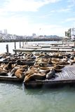Sea lions in San Francisco. Sea Lions at Pier 39, San francisco, USA Royalty Free Stock Photos
