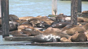Sea Lions San Francisco stock video