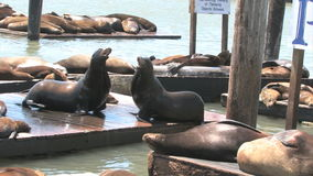 Sea Lions San Francisco stock footage