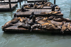 Sea lions in San Francisco. View of a lot of sea lions resting on platforms in San Francisco, California stock images