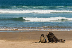 Sea lions on sandy beach Stock Photography