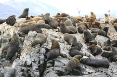 Sea Lions at the Sea Lions island in Beagle Channel Royalty Free Stock Photography