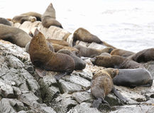 Sea Lions at the Sea Lions island in Beagle Channel Royalty Free Stock Images