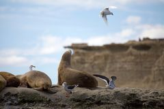 Sea Lions and seagulls on the rock in the Valdes Peninsula, Atlantic Ocean, Argentina royalty free stock image