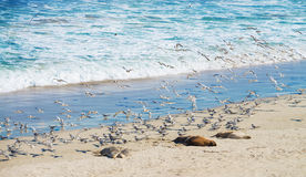 Sea lions and seagulls Royalty Free Stock Photos