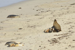 Sea lions on Seal Bay beach Royalty Free Stock Photography