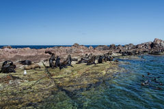 Sea lions seal while relaxing on the rocks Royalty Free Stock Images