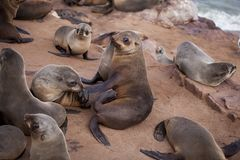 Sea Lions Seals, Otariinae with pups royalty free stock photography