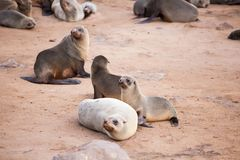 Sea Lions Seals, Otariinae with pups stock image