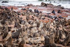 Sea Lions Seals, Otariinae with pups stock photo