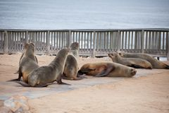 Sea Lions Seals, Otariinae with pups stock photos