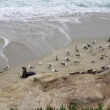 Sea lions, seals and seagulls on rocky beach waves. Sea lions and seagulls on rocky beach waves. sea lions and seagulls on a rocky beach, water, ocean, , birds royalty free stock images