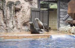 Sea lions. Show sea lion in zoo, animals and nature Stock Photos