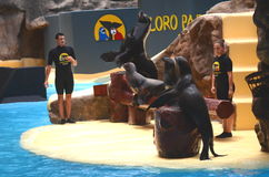 Sea lions show in Loro Park in Puerto de la Cruz on Tenerife, Canary Islands Royalty Free Stock Photography