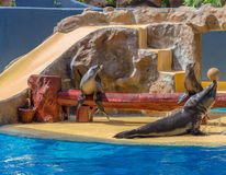 Sea Lions Show Royalty Free Stock Photos