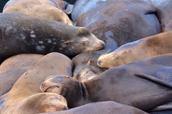 Sea lions sleep in Pier 39 at Fisherman's Wharf Royalty Free Stock Images