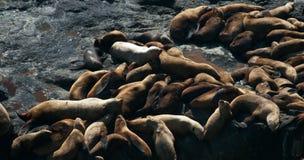 Sleepy Sea Lions. Sea Lions sleeping along the Oregon coast Royalty Free Stock Images