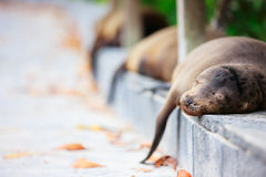 Sea lions sleeping along a road Stock Images