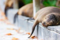Sea lions sleeping along a road Stock Photo